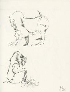 Baboon Studies